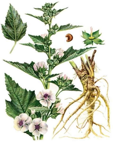алтей корень лечебные свойства