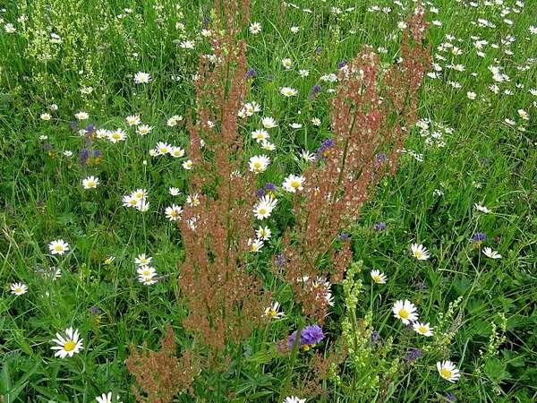 трава конский щавель