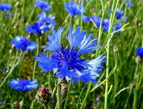 цветок василек описание