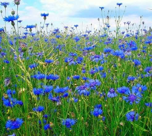 описание василек синий