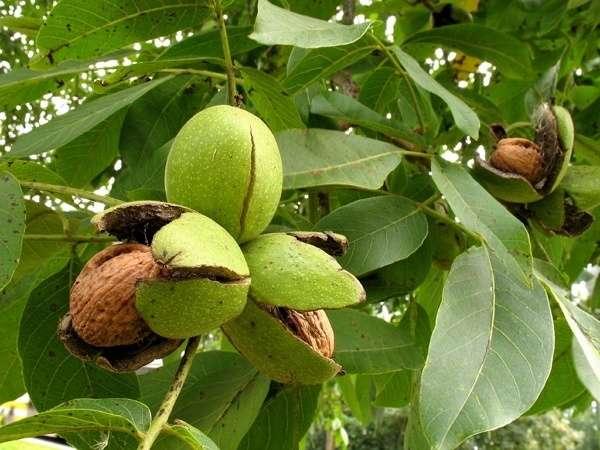 листья грецкого ореха полезные свойства и противопоказания