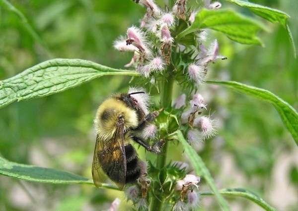 трава пустырник лечебные свойства и противопоказания