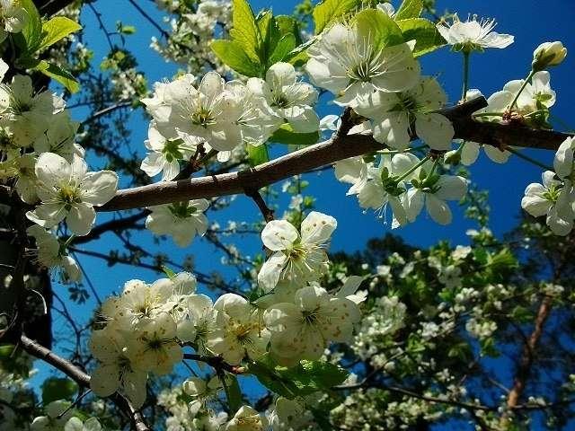 цветение весной