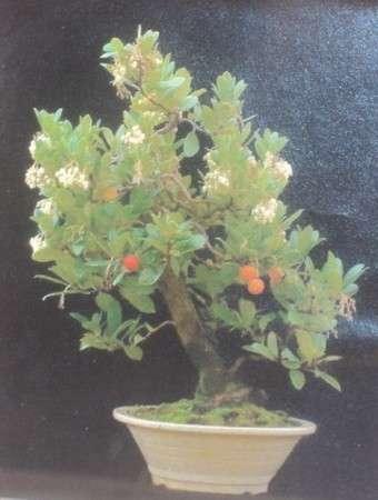 цветущее земляничное дерево