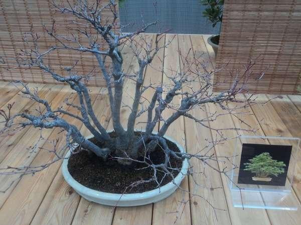 растение бонсай фото