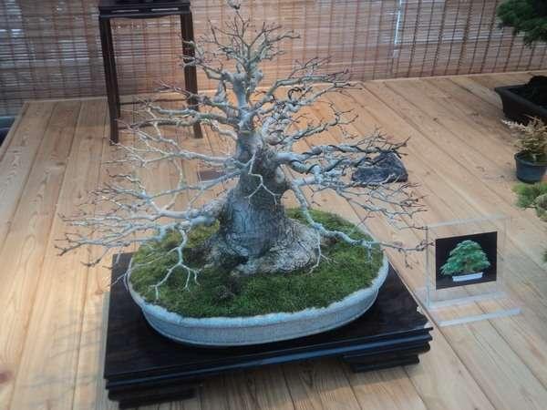 растение клен дланевидный