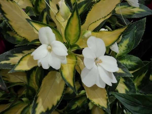 бальзамин новогвинейский фото