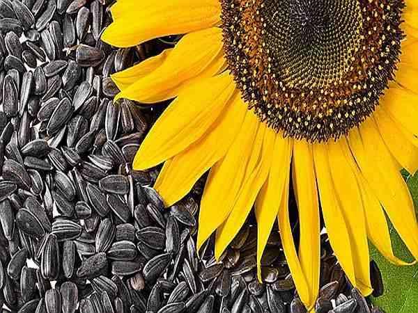 соцветие и семена