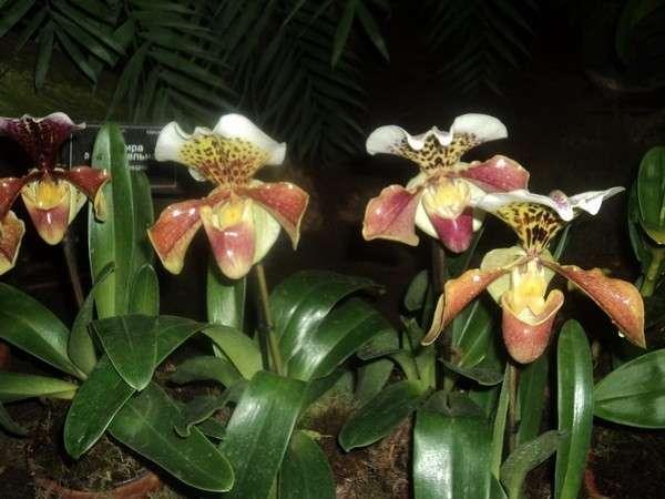 орхидеи выставка