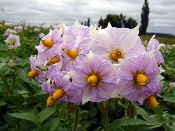 полезные свойства и противопоказания картофель