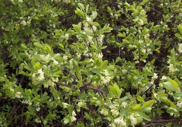 медицинское применение цветков жимолости