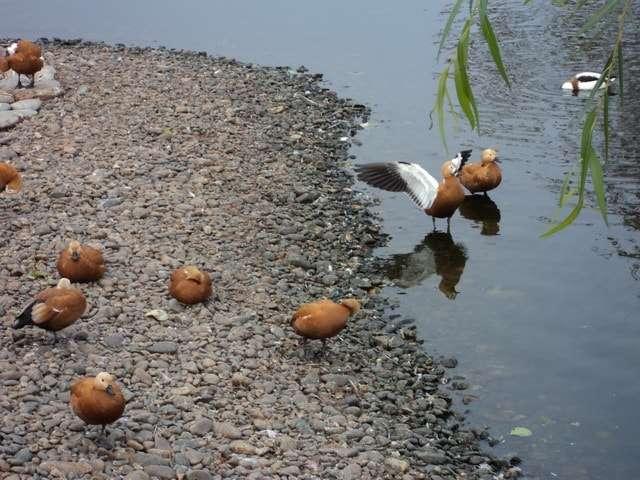 земляные утки