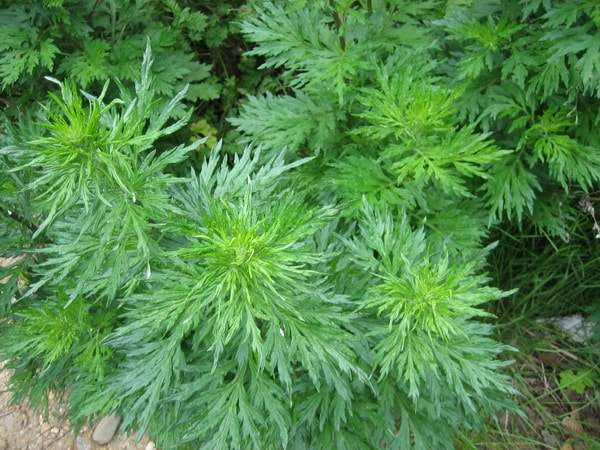 лечебные свойства противопоказания растения