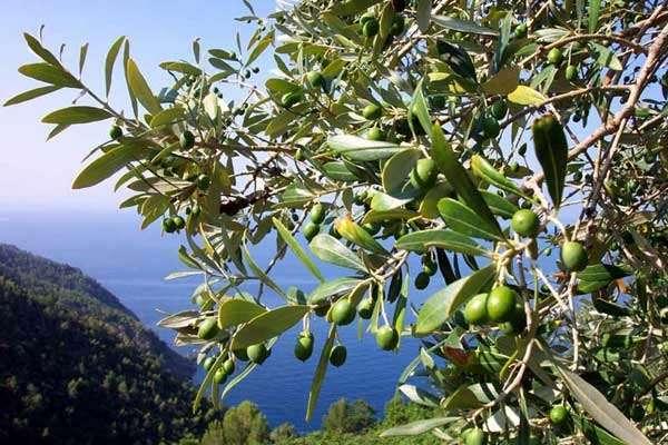 отличие оливок от маслин
