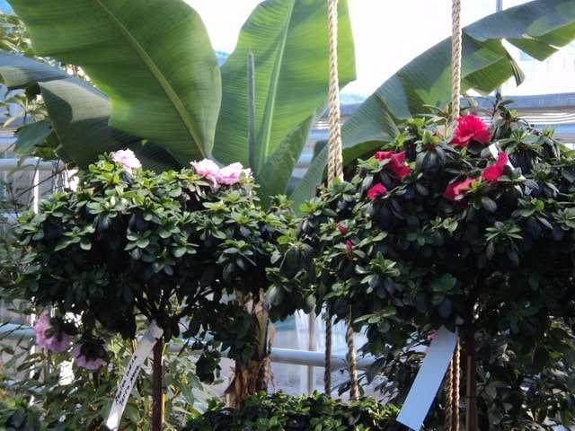 цветущие азалии банан пальмы