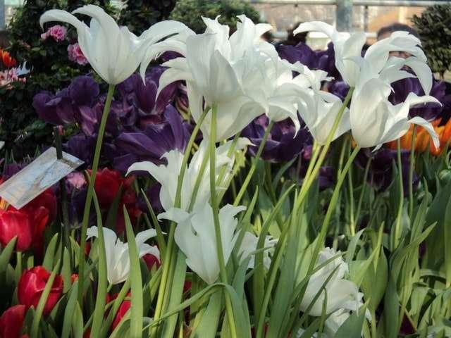 цветы тюльпаны фото белые