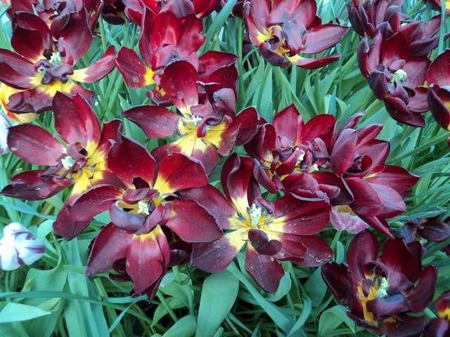 цеты тюльпаны фото