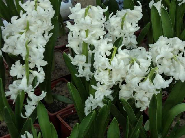 цветут белые гиацинты