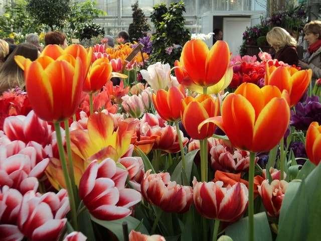 тюльпаны фото цветов