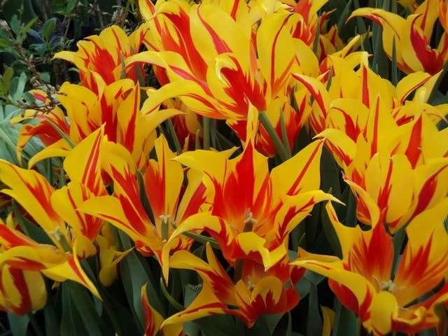 огненный костер лилейников