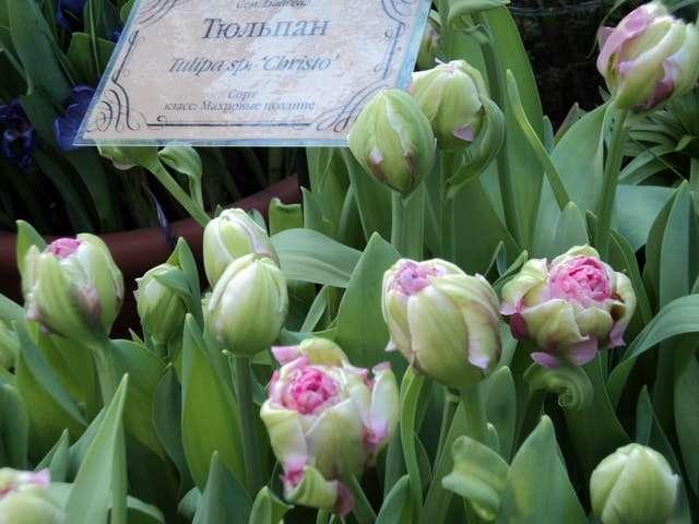 фото самых разнообразных тюльпанов