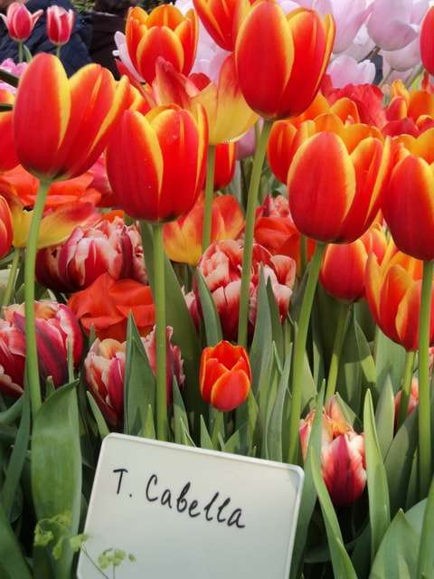 тюльпаны фото красно-желтые