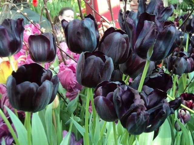 цветы тюльпаны черные фото