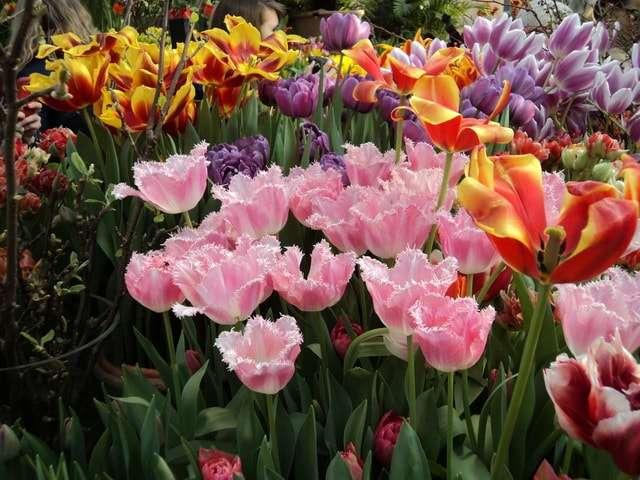 разновидности тюльпанов фото названия