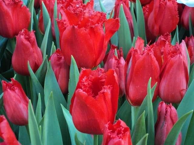 тюльпаны фото красные