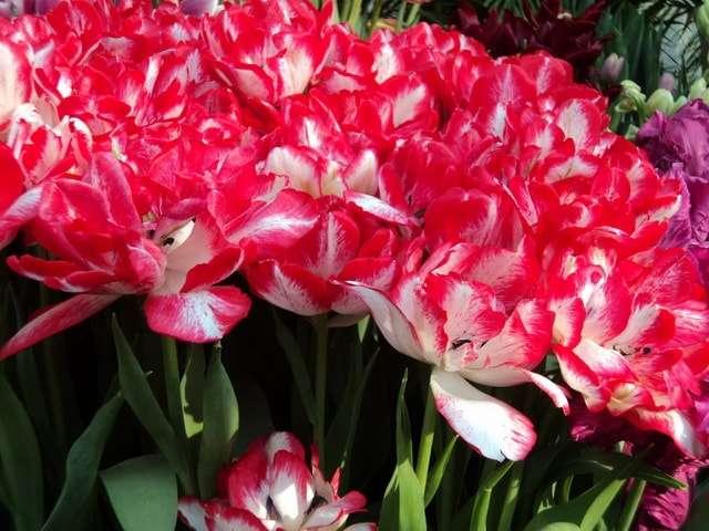 яркие розово-белые