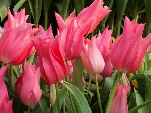 тюльпанов сорта фото и названия