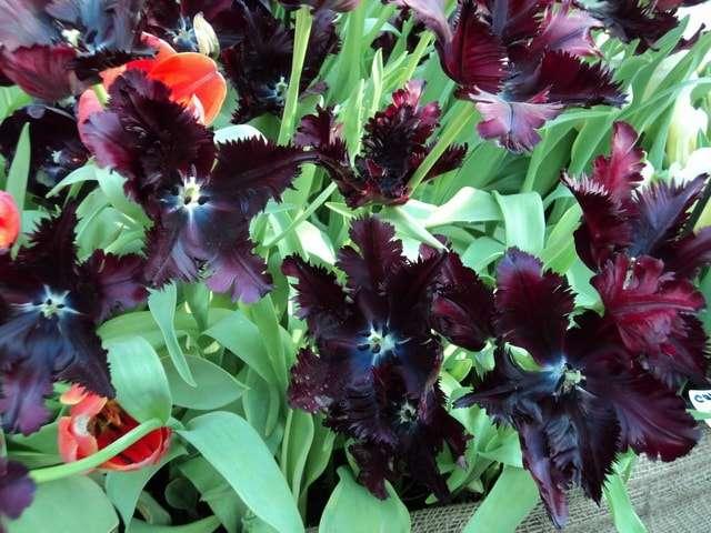 аптекарский огород выставка тюльпанов