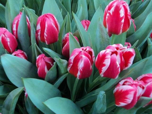 выставка тюльпанов