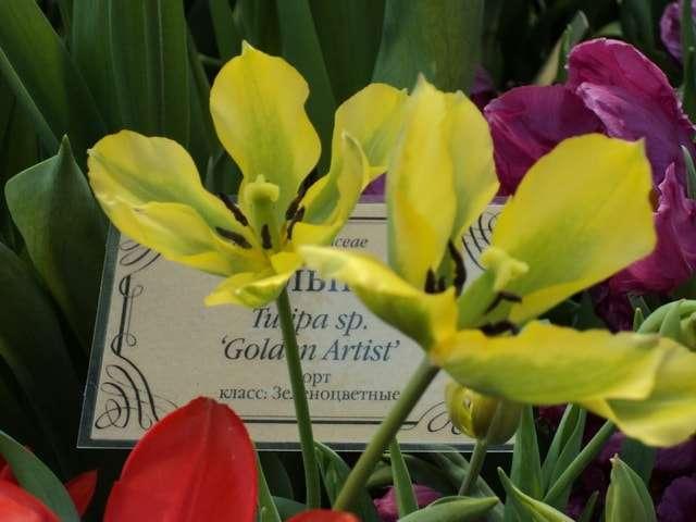 зеленоцветковые golden artis