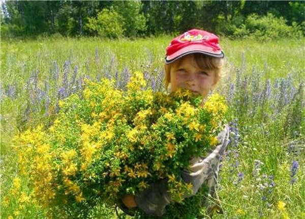 трава зверобой лечебные свойства и противопоказания