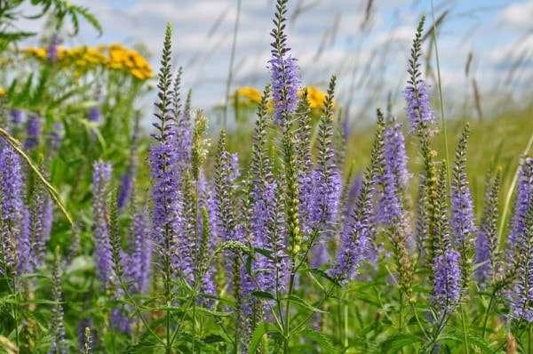 трава вероника лекарственная фото