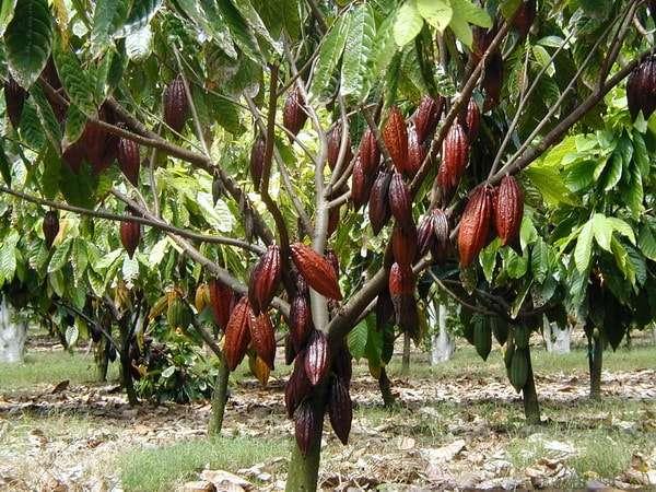 родина какао