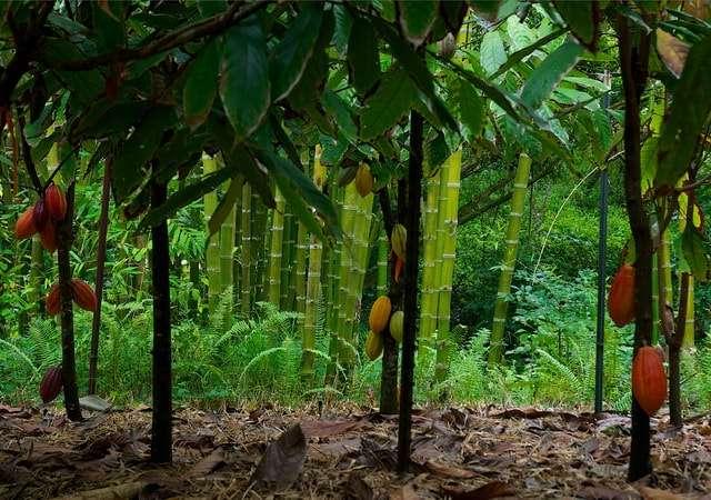 где растут какао бобы