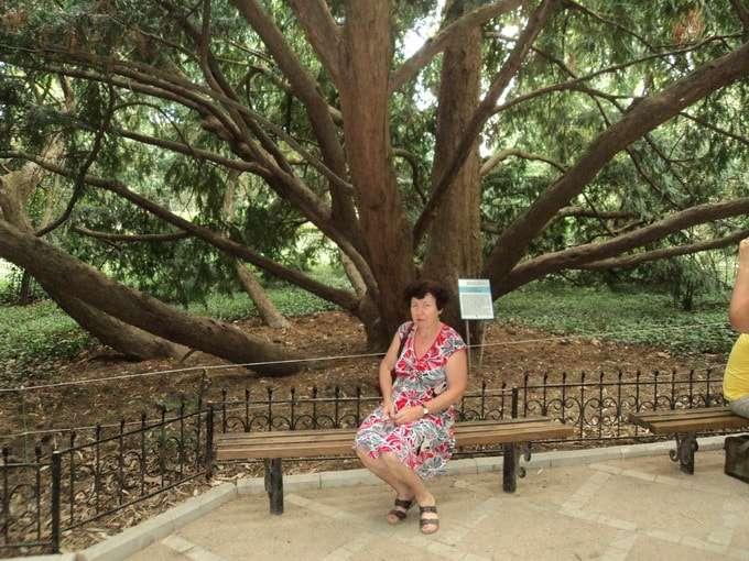 дерево тис ягодный