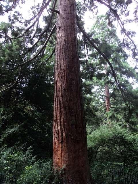 гигантская секвойя калифорния