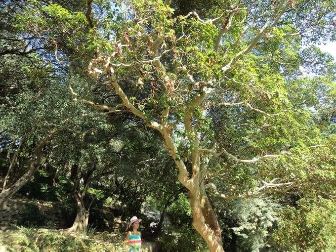 вечнозеленое земляничное дерево