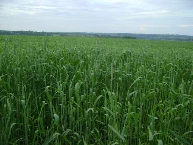 на поле зреет урожай