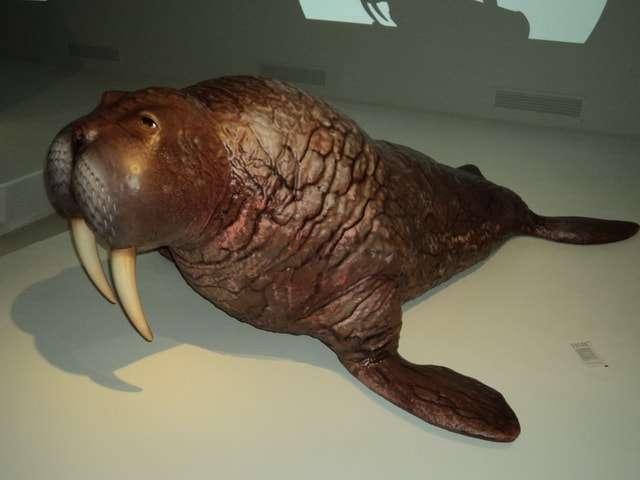 морж представитель ластоногих