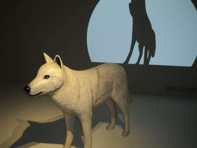 животные полярный волк