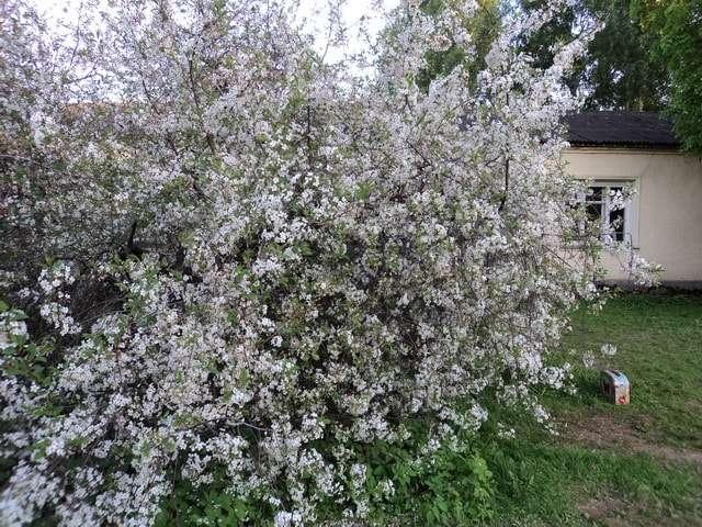 усадьба пасечника цветет вишня