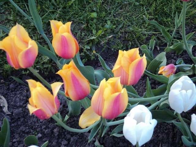 тюльпаны в аптекарском огороде