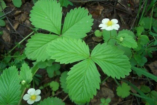 Листья земляники полезные свойства и противопоказания