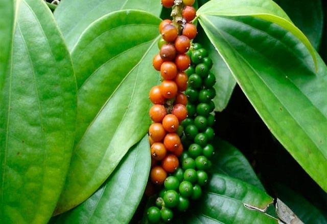 растение перец черный