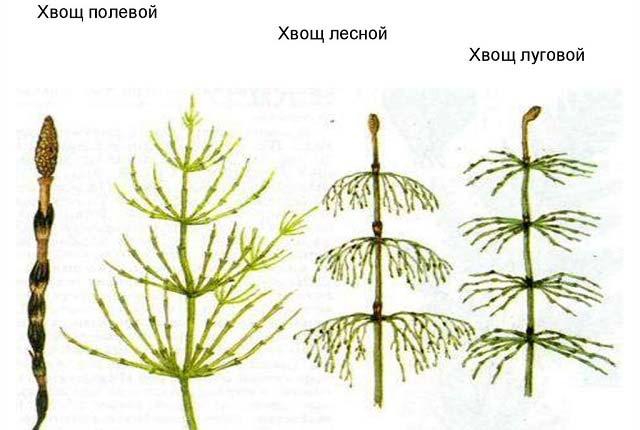 виды хвоща полевой лесной луговой