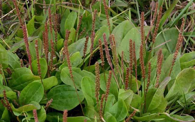 семена подорожника лечебные свойства и противопоказания